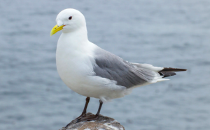 Kittiwake added to the list of British birds facing global extinction…and plastic is partly to blame